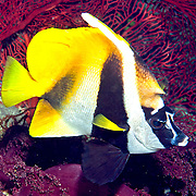 Masked Bannerfish inhabit reefs. Picture taken Fij.