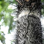 Pied de Tucumua. Seringal Cahoeira immersion dans la forêt primaire et enseignement du seringuerions Nilson Mendes, cousin de chico mendes