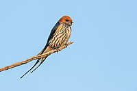 Lesser-striped swallow, Pilanesberg National Park, North West, South Africa