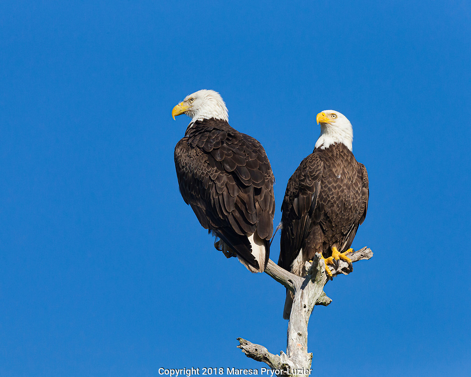 Pair of Adult Bald eagles, Haliaeetus leucocephalus,  SW Florida