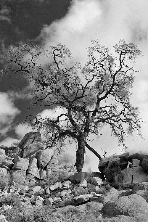 Desert Oak Large Rock Hill - Infrared Black & White