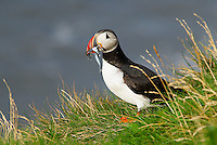 Islande, falaise de Vik, macareux moine (fratercula arctica) // Iceland, colonies of puffins nest in the cliffs of Vick