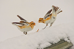 Snow Buntings squabble for food in the Cairngorms as Storm Doris hits the UK. 24 Feb 2017 (c) Brian Anderson | Edinburgh Elite media