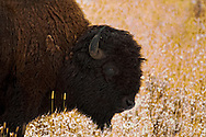 Bull Bison (bison bison), winter, Yellowstone National Park.