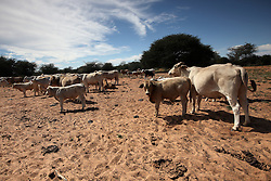 NAMIBIA GROOTFONTEIN 2MAY14 - Cattle farming on the Omega farm near Grootfontein, Namibia.<br /> <br /> The farm holds about 700 hear of cattle, mostly Brahman-Charolais cross breeds. <br /> <br /> <br /> <br /> jre/Photo by Jiri Rezac<br /> <br /> <br /> <br /> &copy; Jiri Rezac 2014