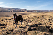 A horse grazes on the bare winter grass near the remote settlement of Ngam-nak, Tibet (Qinghai, China). Ngam-nak serves as a school for Tibetan nomadic children, who are dropped off by their parents and spend 8 months a year in the remote settlement until they have completed a basic level of education. Staffed by a handful of teachers and cooks, there are no other activities in Ngam-nak apart from the school.