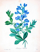 19th-century hand painted Engraving illustration of a Blue wild indigo, blue false indigo. Baptisia australis [as Podalyria australis], by Pierre-Joseph Redoute. Published in Choix Des Plus Belles Fleurs, Paris (1827). by Redouté, Pierre Joseph, 1759-1840.; Chapuis, Jean Baptiste.; Ernest Panckoucke.; Langois, Dr.; Bessin, R.; Victor, fl. ca. 1820-1850.