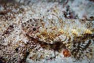 Synodus dermatogenys (Clearfin Lizardfish)