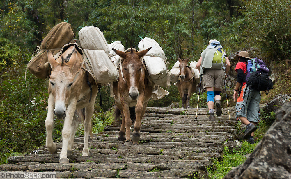 Trekking past loaded donkeys on stone stairs near Chomrong (or Chhomrung) in the Annapurna Mountain Range of Nepal.