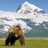 USA, Alaska, Katmai National Park, Brown Bear (Ursus arctos) feeding on sedge grass in meadow along Hallo Bay