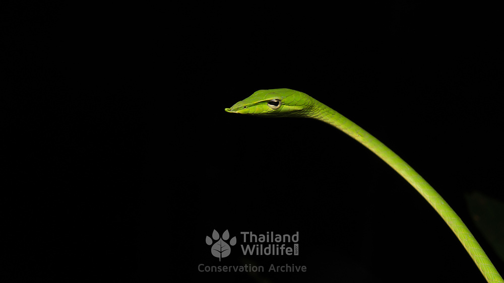Long-nosed Vine Snake (Ahaetulla nasuta) in Nong Ya Plong, Phetchaburi, Thailand