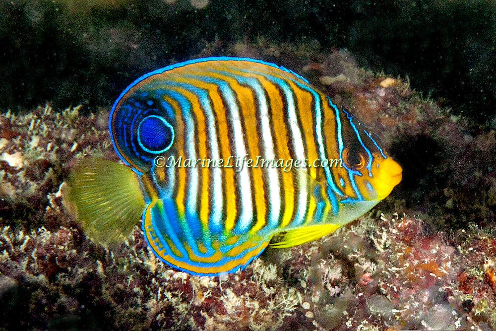 Regal Angelfish inhabit reefs. Picture taken Fiji