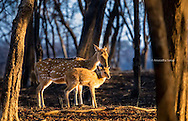 A mother deer and foal in the morning light, Ranthambore National Park