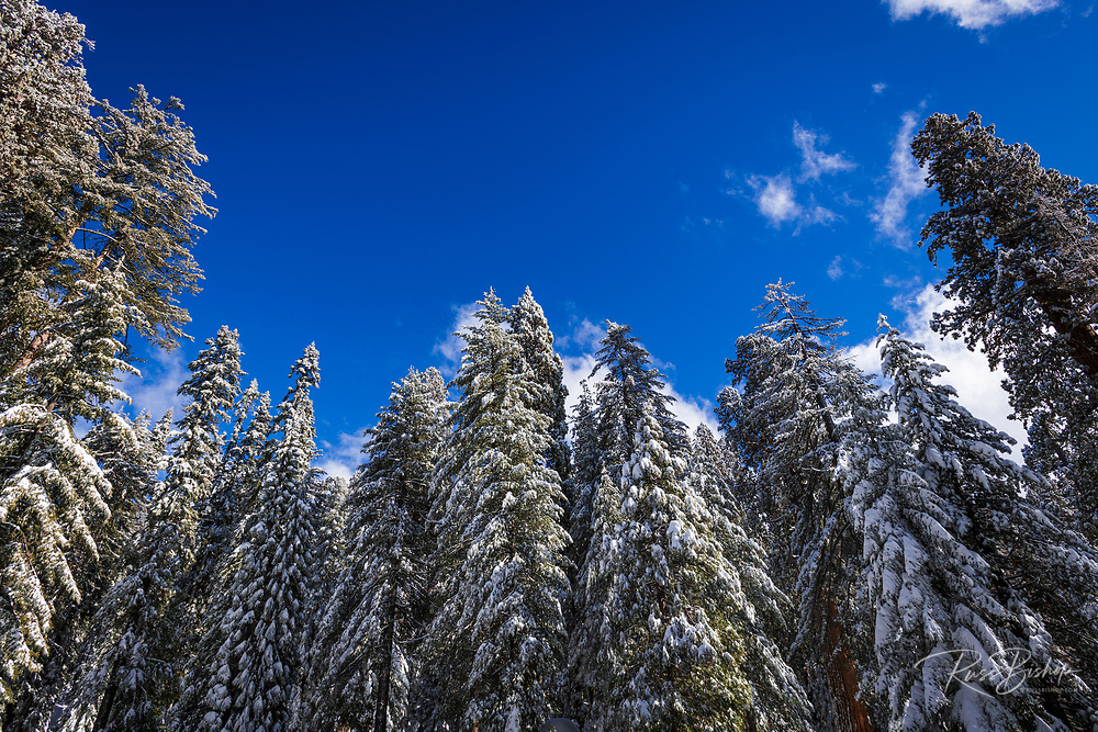 Snow dusted giant sequoia and pines, Sequoia National Park, California USA