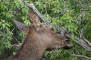 Elk cow browses on leaves. The seeds visible in the fur on her neck are probably the invasive houndstongue, Cynoglossum officinale, adapted to spreading by clinging to mammal fur. Greater Yellowstone Ecosystem, © 2019 David A. Ponton