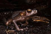 Rhaebo haematiticus<br /> CAPTIVE<br /> Central ECUADOR. South America<br /> RANGE: Colombia, Costa Rica, Ecuador, Honduras, Nicaragua, Panama, Venezuela