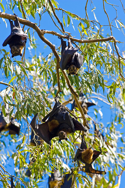 Colony of Spectacled Flying-fox bats roosting, Port Douglas, Queensland, Australia