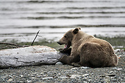 A brown bear adult boar rests next to a driftwood log at the McNeil River State Game Sanctuary on the Kenai Peninsula, Alaska. The remote site is accessed only with a special permit and is the world's largest seasonal population of brown bears in their natural environment.