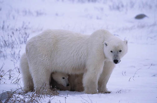 Polar Bear, (Ursus maritimus)  Mother and cubs. Cape Churchill, Manitoba. Canada.