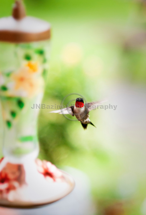 A Ruby-throated hummingbird hovers near a bird feeder in a Gatineau, QC backyard.