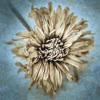 Macro yellow dried daisy with texture.