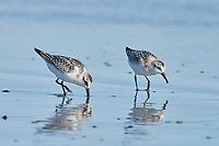 Sanderling (Calidris alba) foraging on beach, Cherry Hill Beach, Nova Scotia, Canada