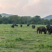 Panorama Minneriya Elephants 2 (Format 9 x 1)