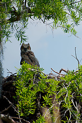 Great Horned Owl (Bubo virginianus), Blue Cypress Lake, Vero Beach, Florida, US