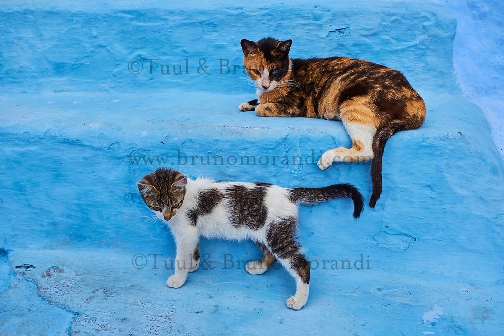 Maroc, Region du Rif, Ville de Chefchaouen, La medina bleue, chat des rues // Morocco, Rif area, Chefchaouen (Chaouen) town, the blue city, street cat
