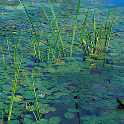 Water Lilies. The many colors of a pond.  Brookline, NH