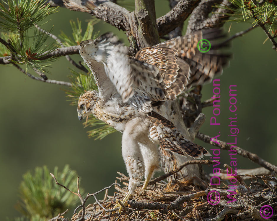 Juvenile red-tailed hawk stands on nest with long legs and exercises wings. © 2011 David A. Ponton