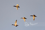 Four Mallard ducks in flight at sunset.
