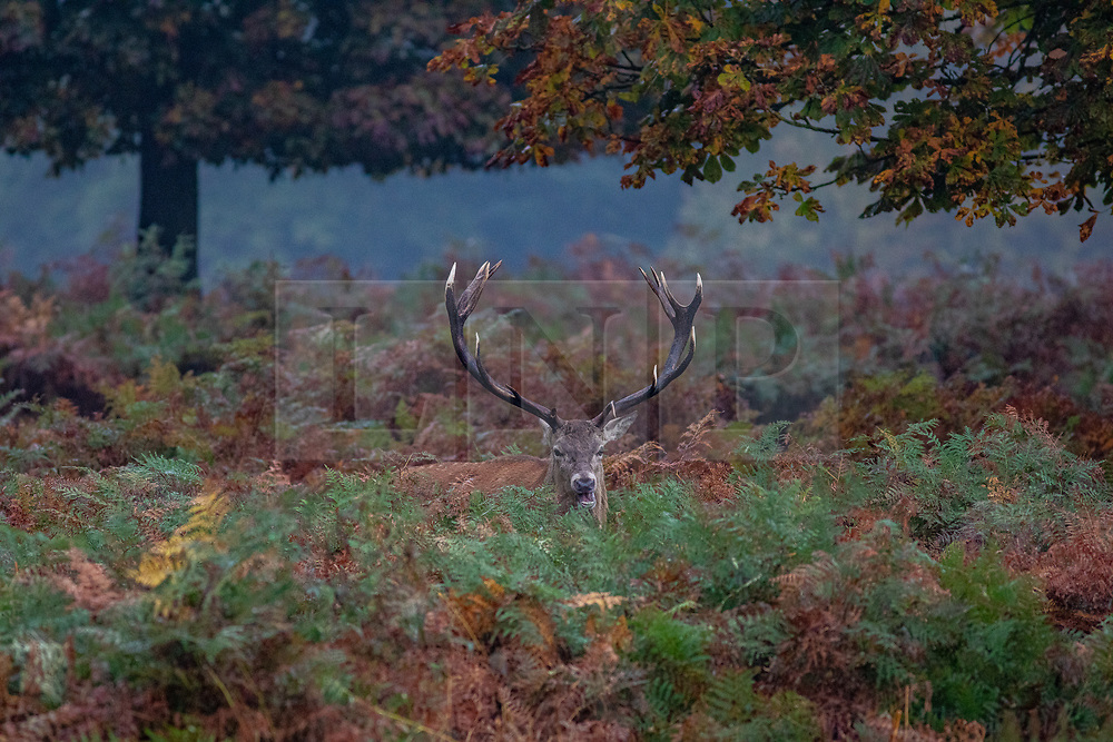 © Licensed to London News Pictures. 23/10/2019. London, UK. A stag stays almost hidden in the autumn colours in Richmond Park . As weather forecasts predict a wet weekend before the clocks go back on Sunday. Photo credit: Alex Lentati/LNP