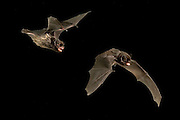 A digital composite of a silver-haired bat (Lasionycteris noctivagans) illustrating wing movement during flight. Rogue River National Forest, Oregon.