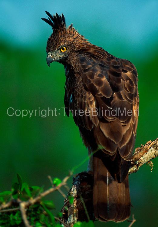 Changeable Hawk-Eagle, Yala National Park,Sri Lanka