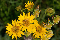 Simpson's Rosinweed (Silphium gracile), Davy Crockett National Forest, Texas