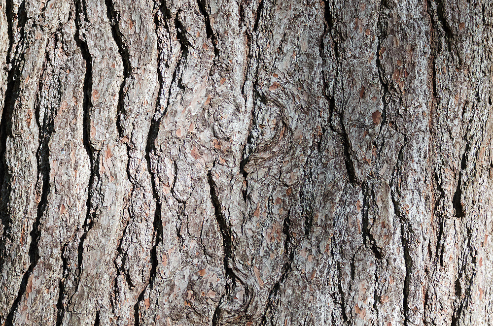 Bark of a mature White Pine (Pinus strobus).