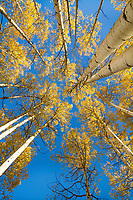 Skyward view of golden aspen leaves against a bright blue sky during Fall in Utah's backcountry.
