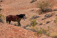 Herd Stallion of a small herd of Wild Horses roaming the desert in southern Nevada