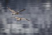 Storspover i flukt | Escaping Eurasian Curlews