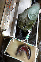 A scientist nets a Coho salmon at a coastal Oregon hatchery for dna research. This research is dramaticaly helping scientists and fisherman track salmon migration routes, habits and lifespans.