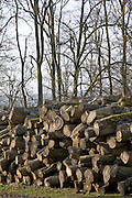 Pile of beech tree logs being seasoned , Gloucestershire, United Kingdom.