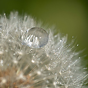 Any flora seems to benefit from the wonderful magnification and reflections caused by water droplets. On a rainy day I noticed a lone raindrop on a dandelion head and used my macro lens to get the best possible image.