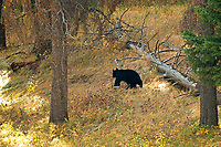 An American Black Bear walks silently down a hillside on an October morning.