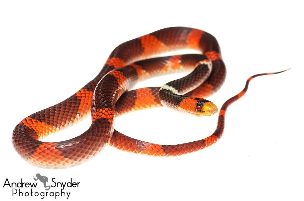 Calico snake (Oxyrhopus occipitalis) -Iwokrama, Guyana.