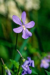 hoornviooltje ,Viola cornuta
