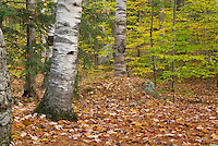 Forest in fall foliage colors White Mountains New Hampshire USA
