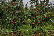 Global warming is having a strong effect on the quality of Nagano Prefecture's famous apples.  Hotter summers means that apples have grown less hard and have become sweeter over the past 3 decades.  Globally Japan ranks 16th in apple exports and there are 1,200 apple growers in Nagano Prefecture.  <br /> <br /> Climate change has led to increased pest, later ripening and paler fruit.  Farmers have begun picking off the leaves around the fruits to improve color and they've begun introducing other new, more heat resistent varieties of apples.  Some have started growing peaches, which fair better with the heat.  These increasing challenges posed by climate change for farmers' bottom line, combined with the fact that Nagano Prefecture has an aging population - the young preferring to live and work in cities - means that the future of the apple industry in Japan.  Nakano City, Nagano, Japan.