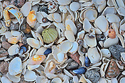 Shells on the rocky shoreline along the North Shore of the Gulf of St. Lawrence<br /> Rivière-au-Tonnerre<br /> Quebec<br /> Canada