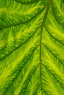 Plant, Colocasia, Common name, Elephant-ear